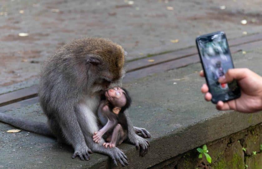 Affen Selfi Monkey Forest Ubud Bali