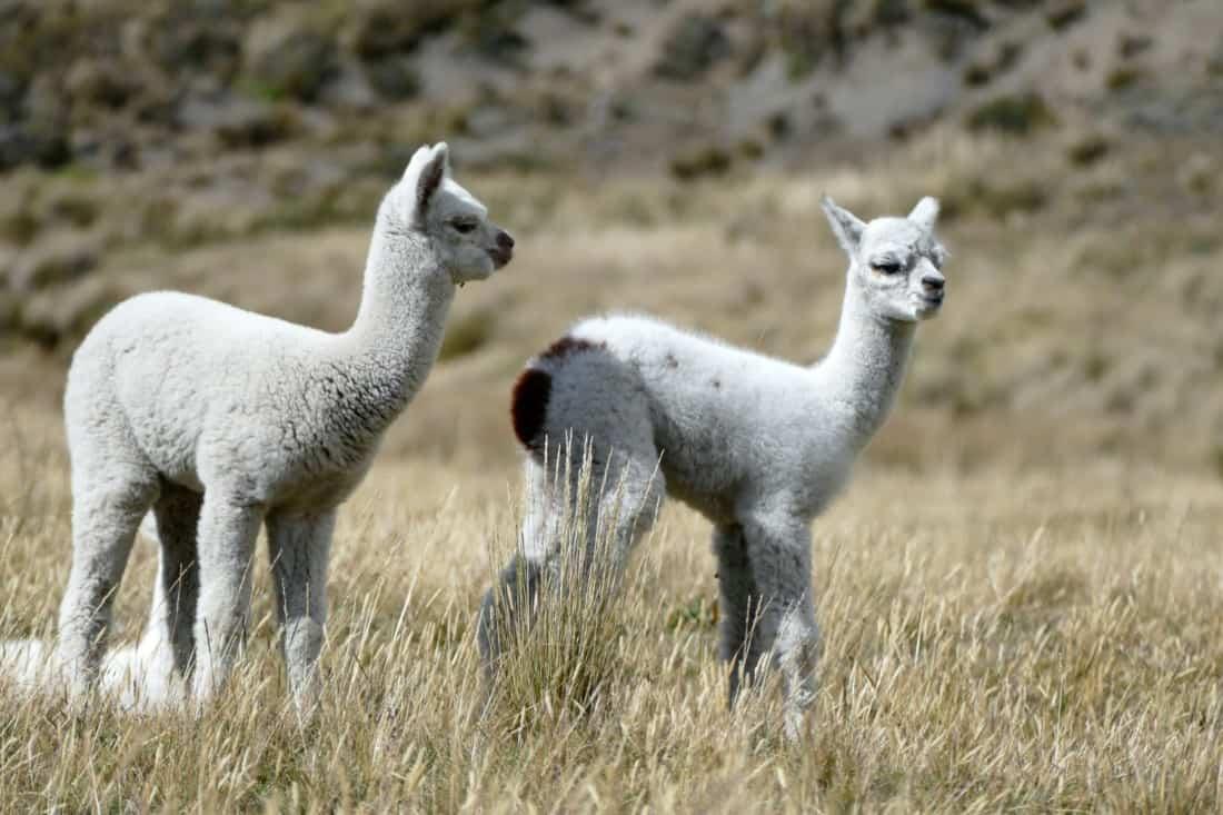 Alpakas Ecuador