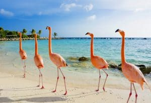 Flamingos auf Aruba