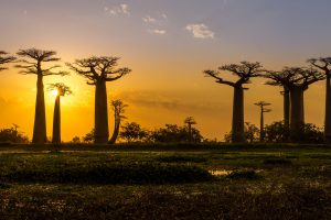 Avenue of the Baobabs, Madagaskar