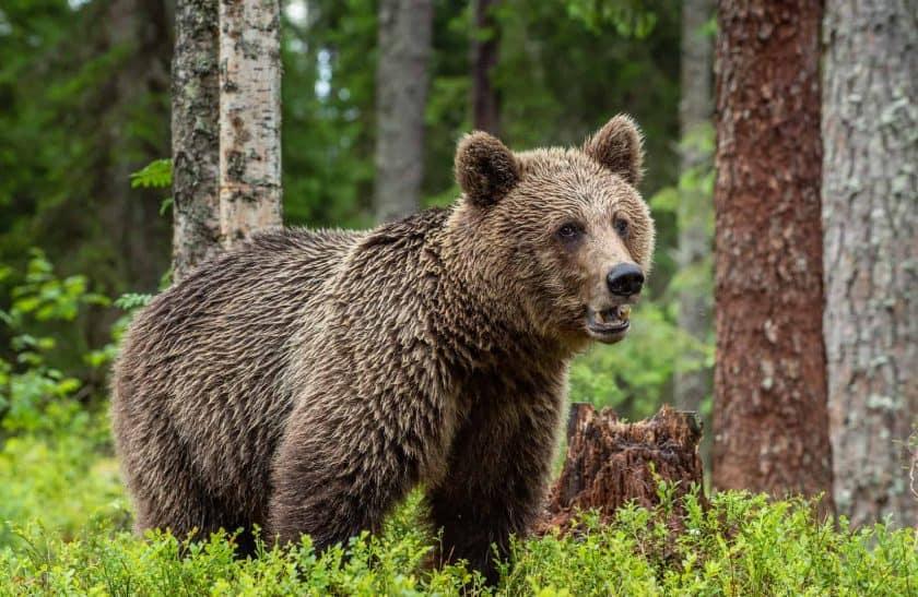 Braunbär in Russland
