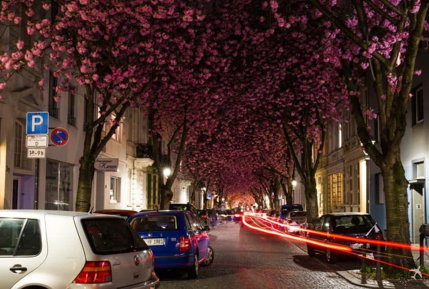 Kirschblüte Heerstraße Altstadt Bonn