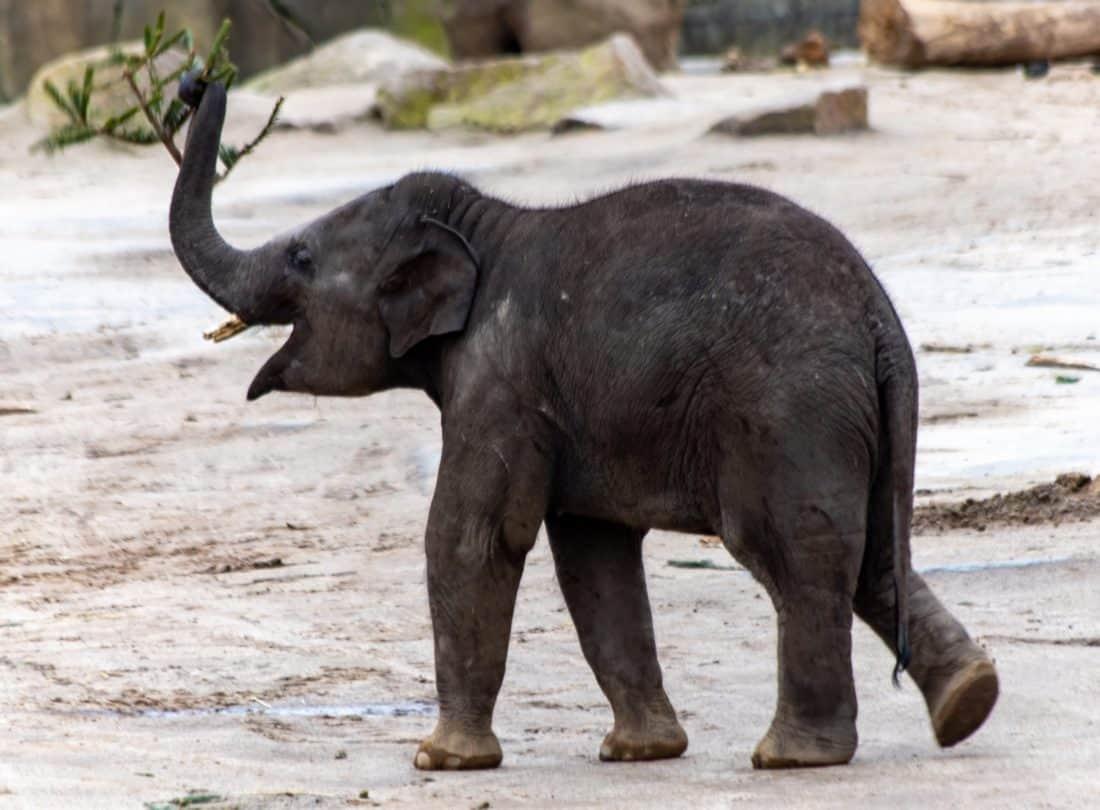 Koelner Zoo Elephant