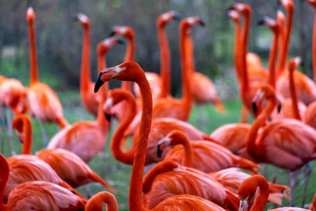 Koelner Zoo Flamingos