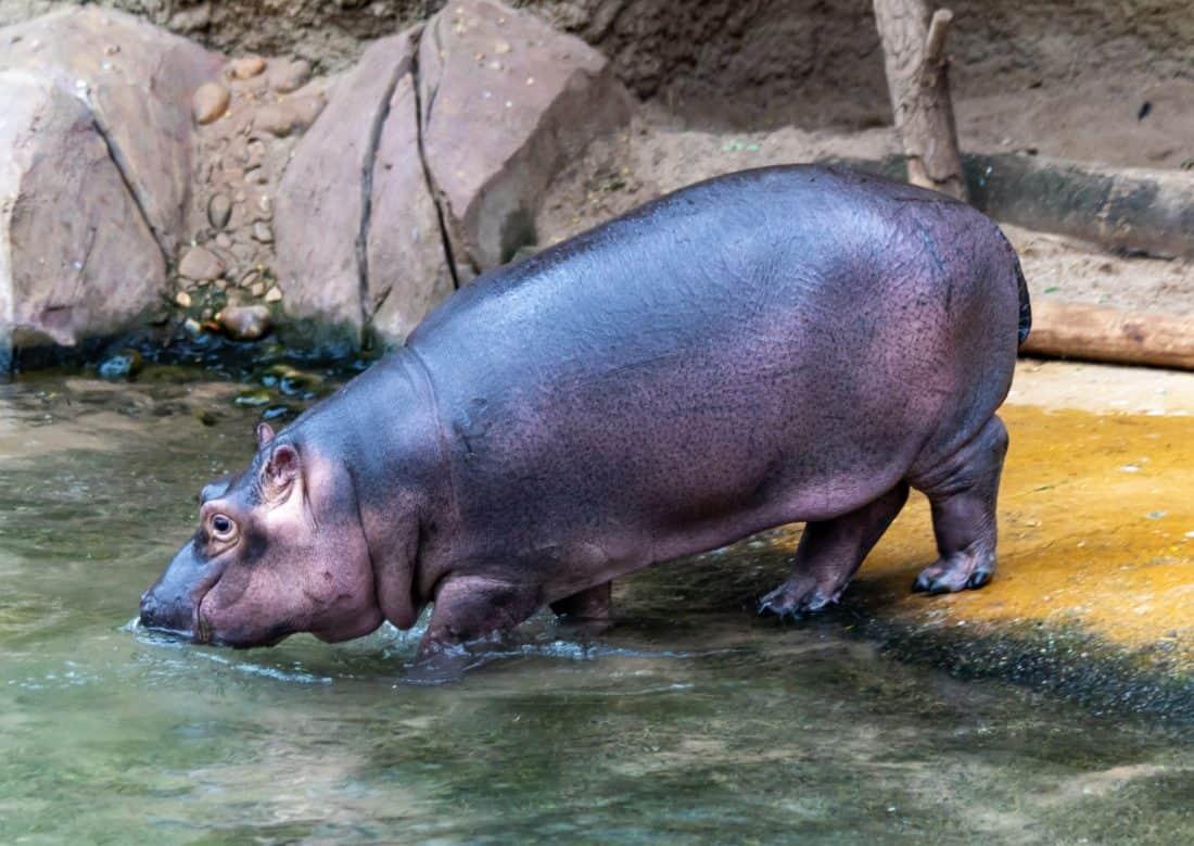 Koelner Zoo Flusspferd Nils