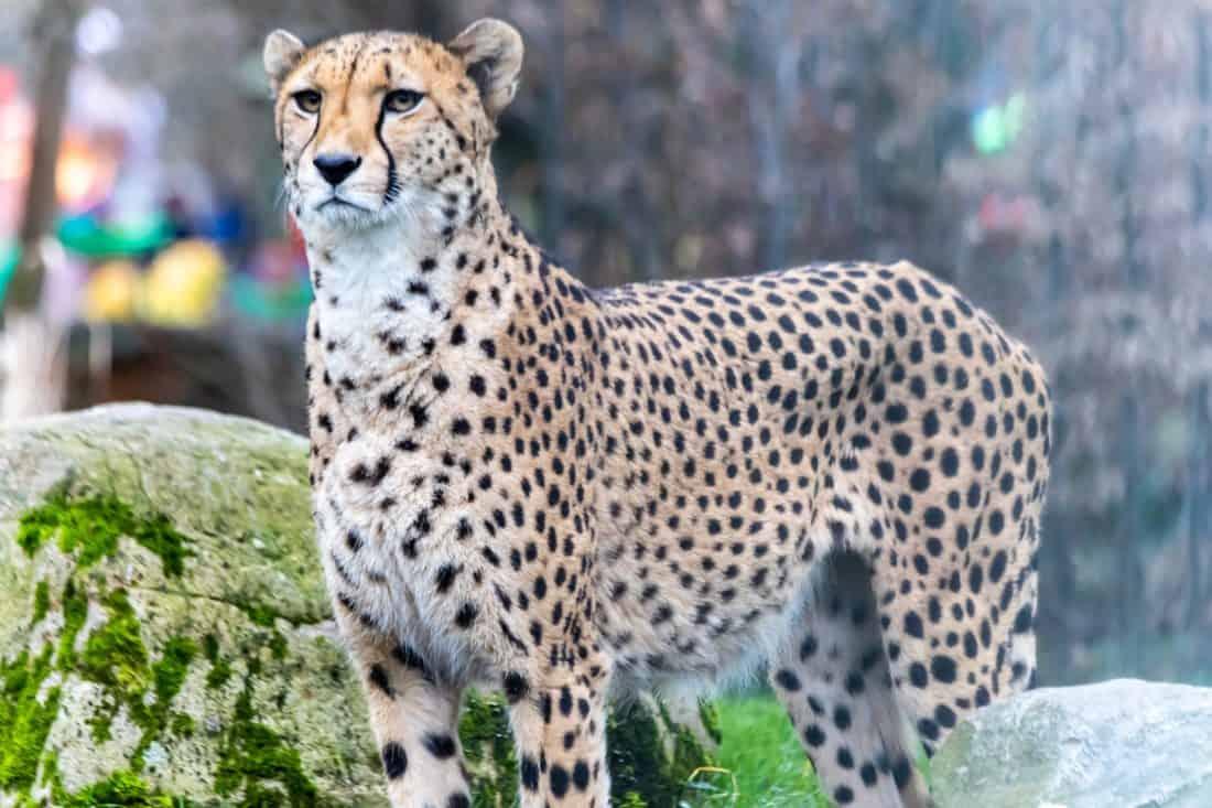 Koelner Zoo Gepard