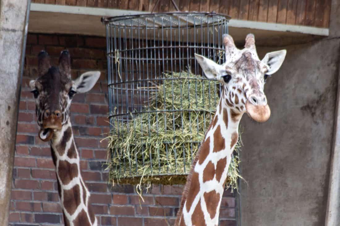 Koelner Zoo Giraffen