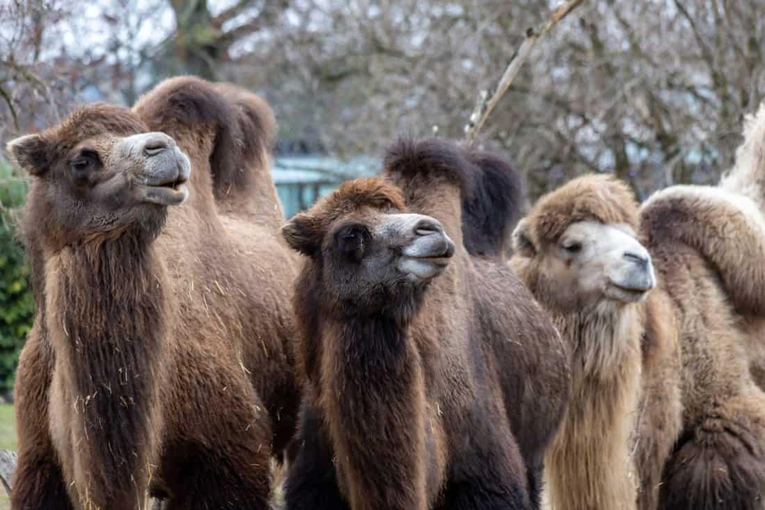 Koelner Zoo Kamele