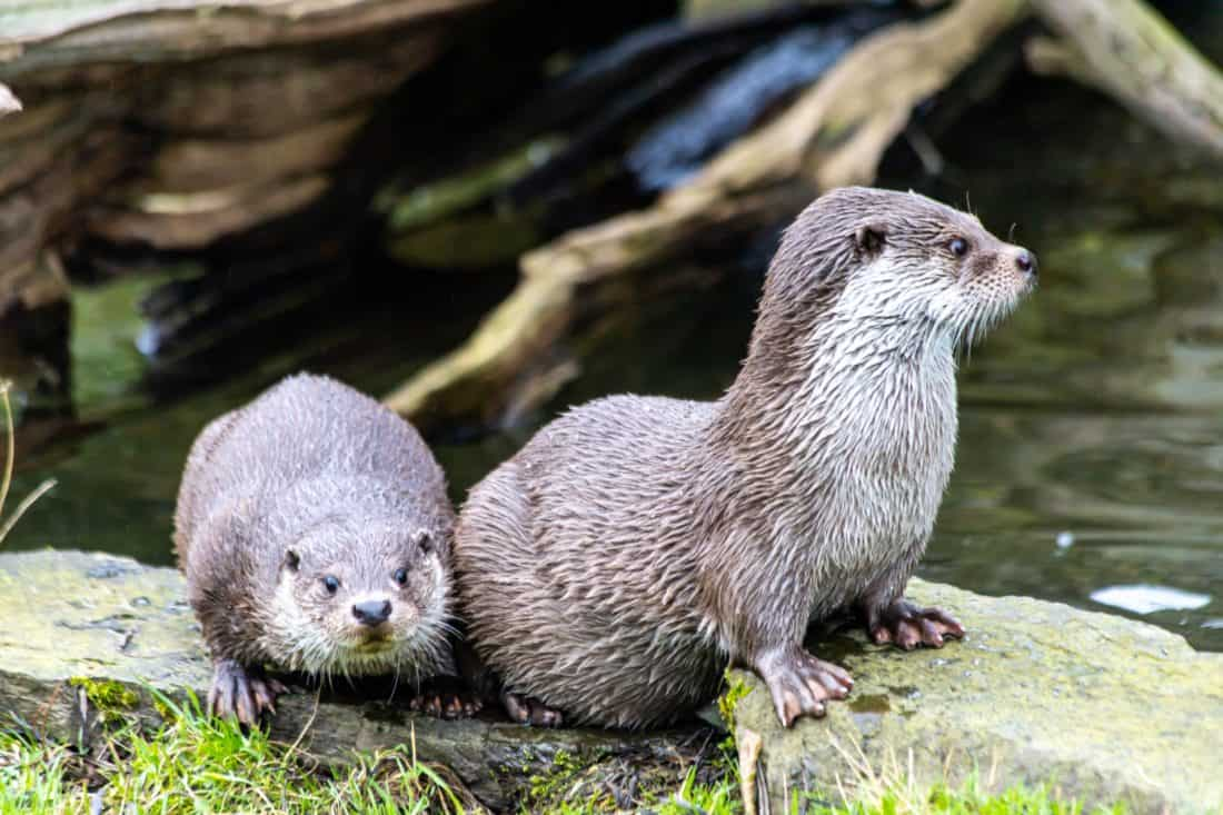 Koelner Zoo Otter