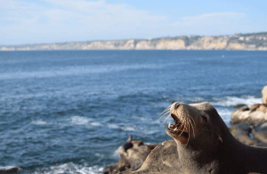 Robben an der La Jolla Cove