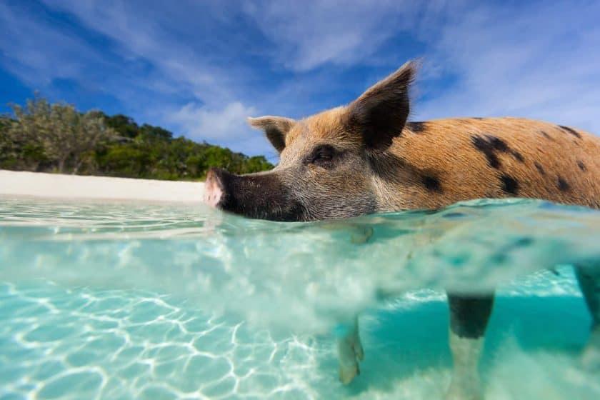Schwimmendes Schwein - Exuma Island, Bahamas