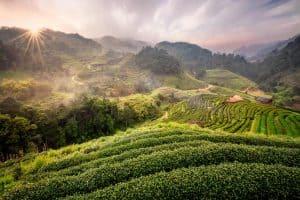 Teeanbau bei Chiang Mai, Thailand