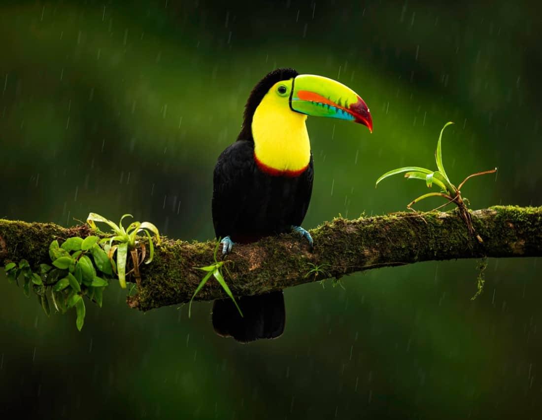 Tukan Regenwald Costa Rica