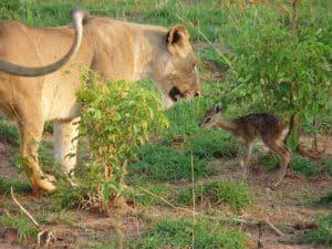 Uganda Tierwelt