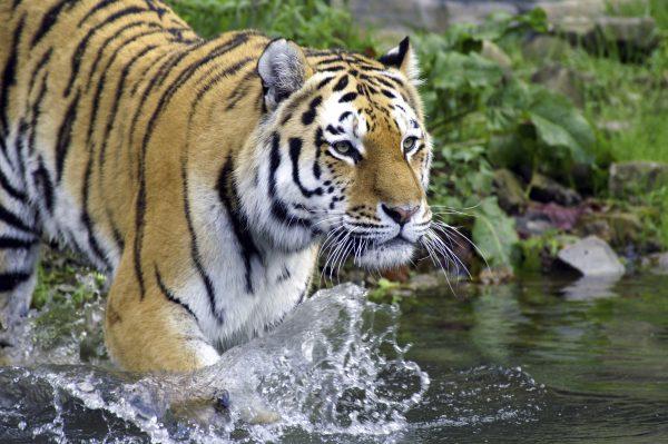 Tiger in der ZOOM Erlebniswelt
